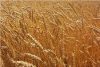 Yellow Corn | wheat Corn