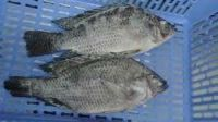 Frozen Tilapia Fish,farm Raised Fish