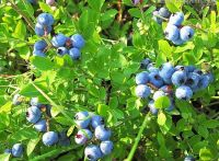 Bilberry_bilberry extract_84082-34-8