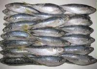 Frozen Horse Mackerel Whole Round (Fish)
