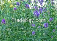 Medicago Sativa( Alfalfa) Extract