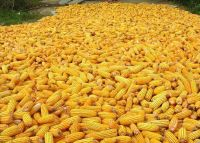 Yellow corn for animal feed and for human consumption