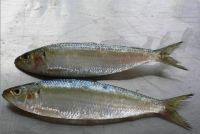 sardine in brine