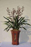 Orchid plant (Cymbidium Sinensis) M2