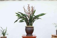 Cymbidium Sinense, orchid plant, M4