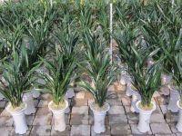 orchid plant (Cymbidium Sinensis) M3