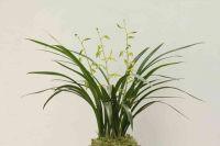 Cymbidium Sinense, orchid plant  M5