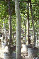 Ficus seedling(sapling)