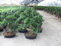 Bonsai S Shape Grafted Ficus(F-001)