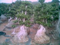 Bonsai Grafted Root Ficus(F-002)