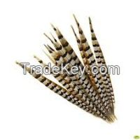 Pheasant Tail Feather
