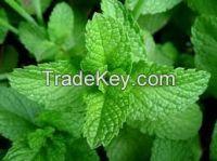 HIGH  quality   Mint Leaves