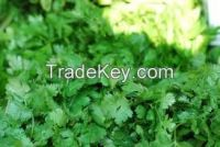 High  quality Green Coriander