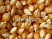 High  quality Maize Grain (Yellow)