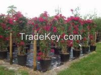 High  quality  blooming Bougainvillea