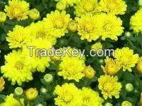 High  quality  fresh cut chrysanthemum flower