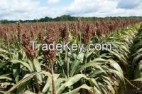 High  quality  WHITE SORGHUM