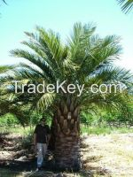 High  quality  jubaea chilensis palms