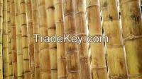 High  quality  Giant Bamboo