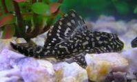 Pleco fish for sale