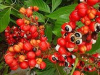 Brazilian Natural Guarana Seed