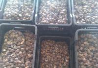 Live Snails, Helix Aspersa, Escargot, Lumaca, Lumache, Caracol