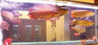 24k Golden, RTG, Super Red And Asian Chilli Red Fishes For Sell