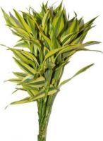 sandriyana cut foliage's  GOLD (lucky bamboo)
