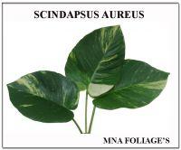 scindapsus aureus
