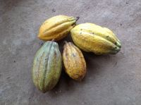 Cacao, Coffee beans