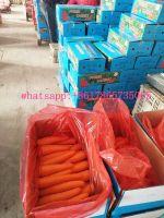 Fresh carrot Shandong