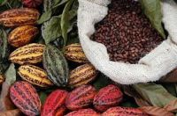 High Quality Dried Raw Cocoa Beans for Sale