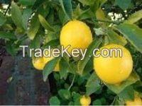 High quality fresh seedless lime, fresh lemon, fresh oranges