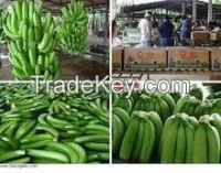 Fresh Class A Green Cavendish Bananas