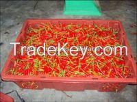 Fresh Red Hot chilli