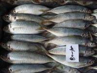 High Quality Frozen Horse Mackerel /Pacific/Pacific ocean Mackerel fish for sale