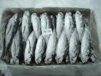 IQF Fish Frozen Horse Mackerel at factory price