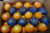 Fresh Orange/ Fresh Valencia Oranges from Netherland
