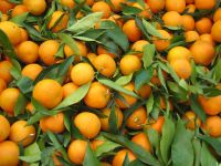 Fresh Valencia Orange/ Fresh Oranges/ Valencia and Navel Fresh Orange