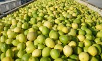 Fresh Quality Grade A Lemon from Netherland