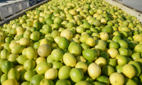 Fresh Yellow Lemon For Exportation