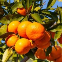 Fresh Tangerine Oranges