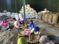 Robusta Coffee Bean  from lombok Island