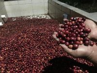 Robusta Coffee Bean  from