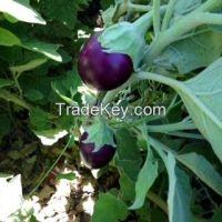 Bangalore eggplant