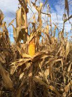 Yellow Corn Grade 2