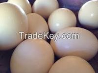 Ostrich eggs, Parrot Eggs, Bird Eggs, Hatching eggs for sale