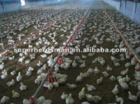 Poultry farm equipment for broiler chicken meat chicken