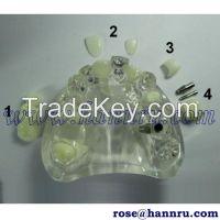 Dental model DIM-41 Artificial Teeth Model - Hann Ru