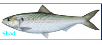 Daily Catch (Shad Fish)